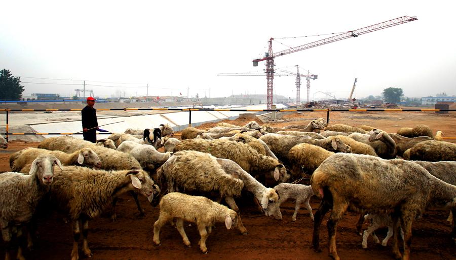 龙源十三街下穿隧道已经封顶,一位羊倌赶着羊群从施工现场修的便道走过。他们现在走过的地方将来会是龙湖