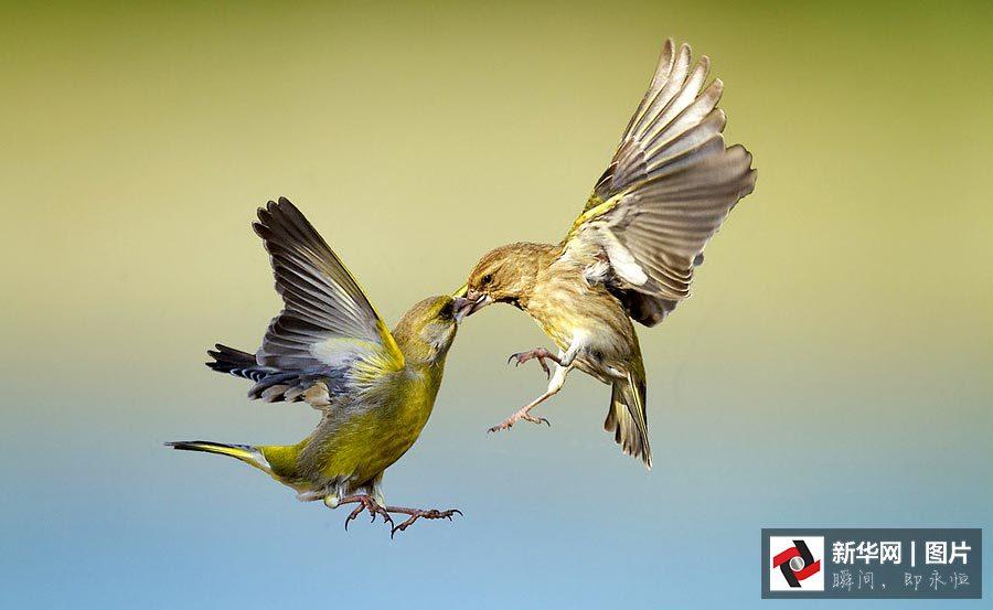 两只爱情鸟在空中大秀恩爱,吻地难舍难离.