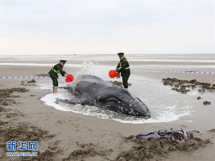 #(社会)(1)江苏启东:营救搁浅座头鲸