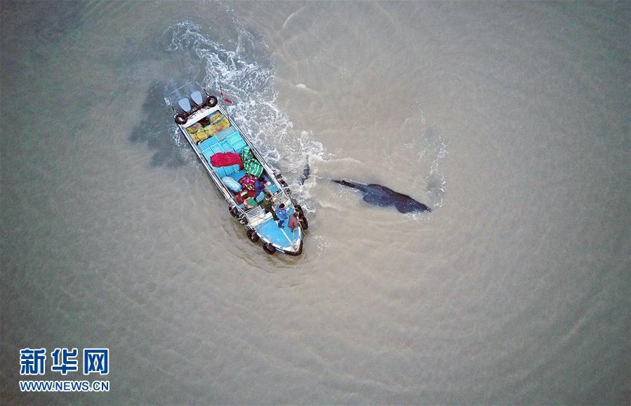 #(社会)(3)江苏启东:营救搁浅座头鲸