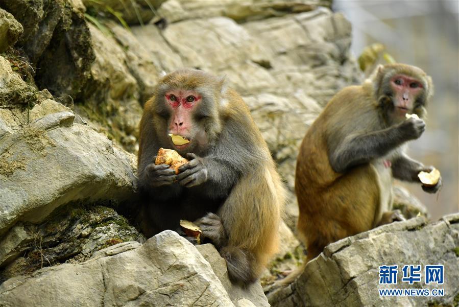 #(环境)(1)湖北恩施:野生猕猴觅食过冬