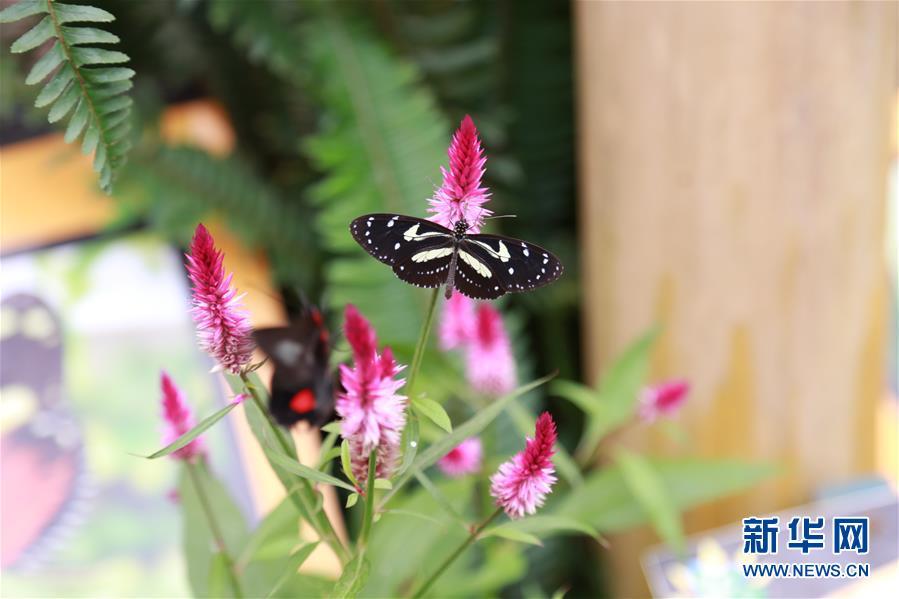 """(国际)(1)厄瓜多尔明多森林保护区""""蝴蝶谷""""探奇"""