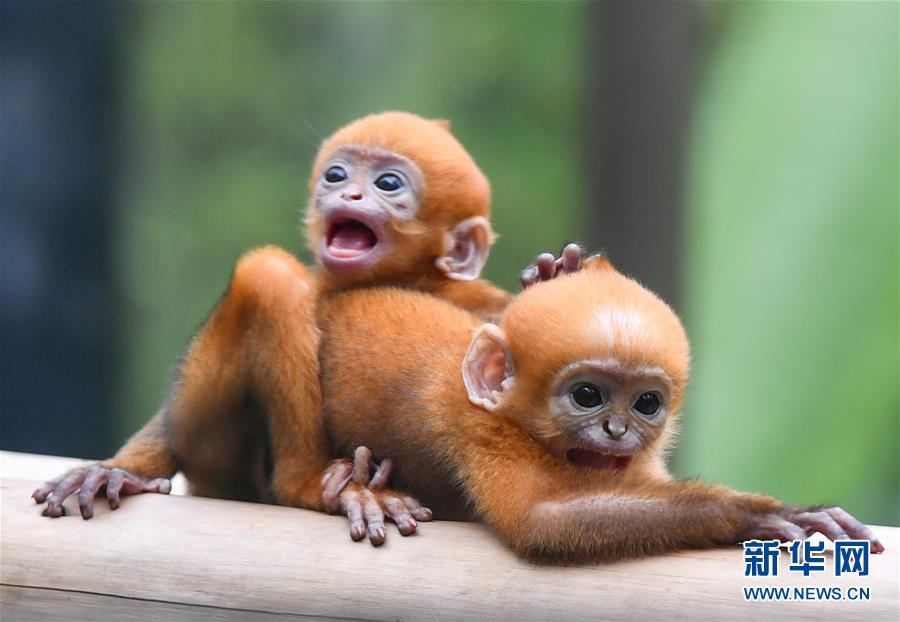 (环境)(2)广州:珍稀黑叶猴诞下龙凤胎