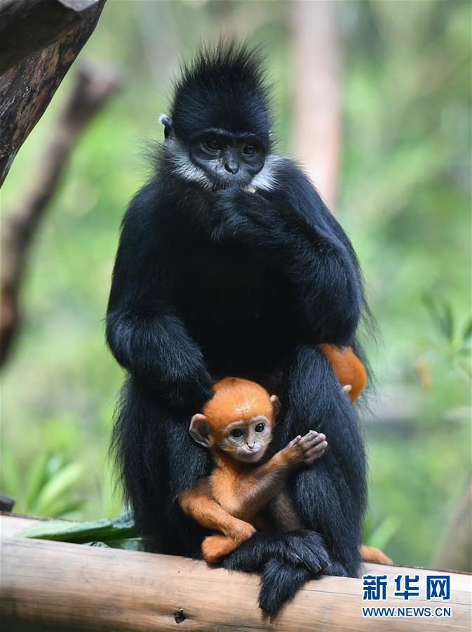 (环境)(3)广州:珍稀黑叶猴诞下龙凤胎