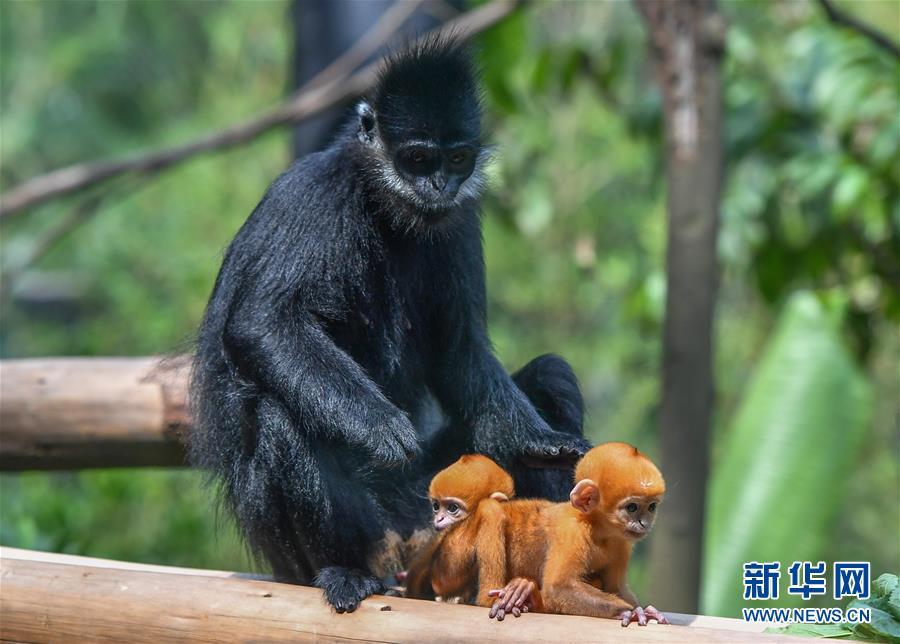 (环境)(4)广州:珍稀黑叶猴诞下龙凤胎
