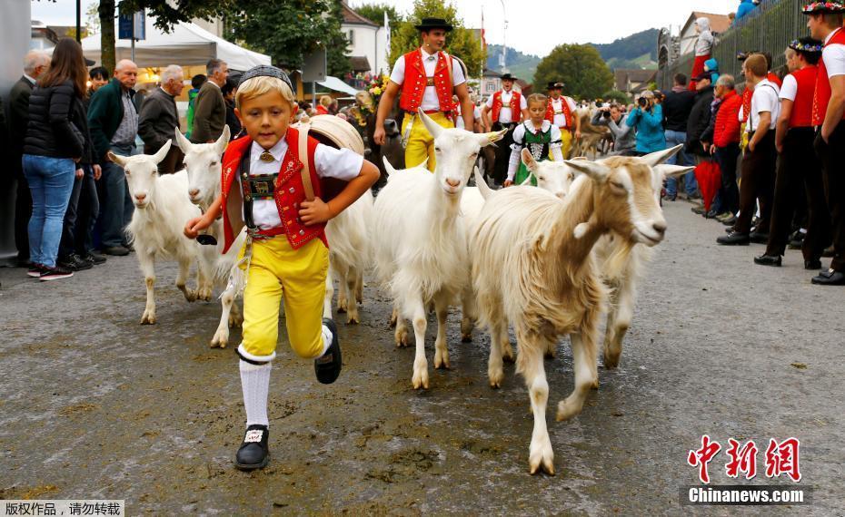 """瑞士奶酪之乡集市开业 牧民着盛装赶着牛羊""""赴约"""""""